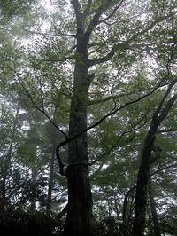 だが、雨にあらわれる美しいブナの森を見ずに、登山を中止できるか。