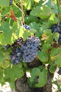 2003年のヨーロッパワインは、まれに見る「当たり」だそうな。夏が暑かったんで、ぶどうの糖度がめちゃくちゃ高い。実際、畑でつまんでみたらすごく甘かった。今から業者は買占めに走ってるようです。2003年モノはヴィンテージだ!