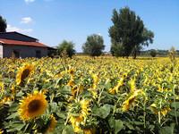 今回はイタリア・夏の風景を少々。アウトストラーダ・デル・ソーレ(太陽の道)のインター近くで。