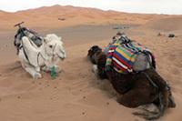 砂漠にいちばん適した乗り物が、このラクダ。後ろに見える砂の山に行き、サンドバギーで悪戦苦闘しましたが、こののんきな顔の動物なら楽勝だったはずです。