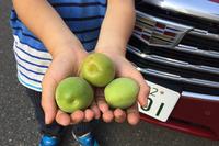 息子も小さい手でたくさん採りました。