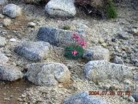 砂礫地に咲く高山植物。かの有名なコマクサ。