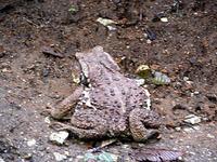 """……と、足元に突如""""珍客""""が!! 赤ちゃんの頭ほどありそうな大きなカエルが佇んでいた。"""