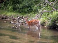 川を眺めながら遊歩道を歩いていると、鹿を発見。